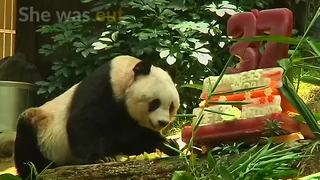 Oldest panda in captivity passes away - Video