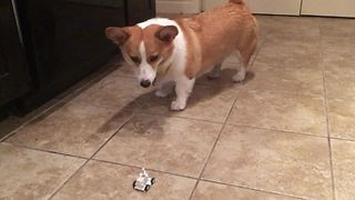 Funny corgi completely bewildered by toy car - Video