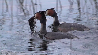 Great crested grebe display their amazing nest-building skills - Video