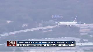 IN DEPTH: 6 bird strikes occur a month at Tampa International Airport - Video