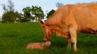 Loving moment between cow and newborn calf will melt your heart - Video