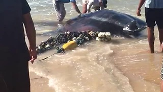 Beachgoers Help Giant Manta Ray Get Back In The Water - Video