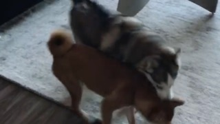 Neighbor dogs get together for fun play date - Video