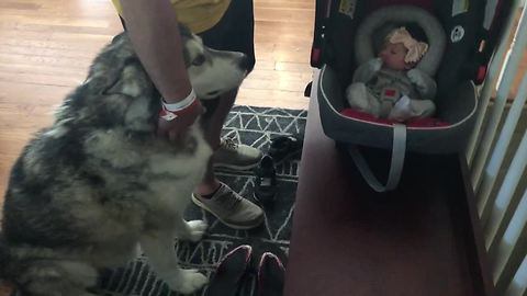 Alaskan Malamute Is So Excited To Meet His Little Sister, He Howls In Pure Joy