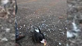 Bald Eagle Shot Down In Sequoyah County - Video