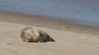 You Wish You Were as Relaxed as This Sleepy Sunbathing Seal Pup - Video