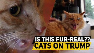 80 cats react to Donald Trump - Video