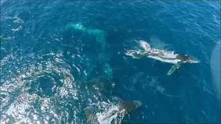 Drone Footage Captures Migrating Whale Pod Off Australian Coast - Video