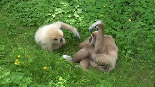 Gibbon father's heartwarming playtime with daughter - Video