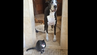 This Great Dane Is Speechless After Seeing What The Cat Does. Can't Blame Her!   - Video