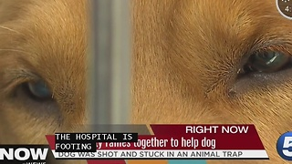 Golden retriever shot and stuck in trap, Lorain County Animal Emergenct steps in - Video