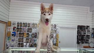 Husky shows off new mustache and tattoos - Video