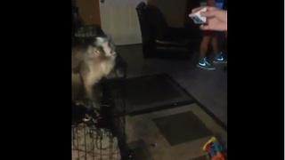 Capuchin monkey plays catch with his owner - Video