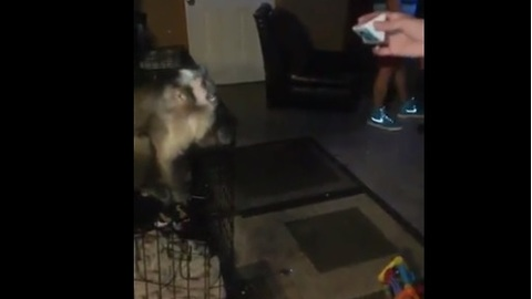 Capuchin monkey plays catch with his owner