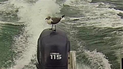 Crafty seagull surfs on the back of a fast moving speed boat