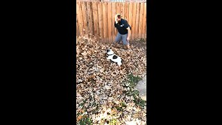 Frenchie goes swimming in massive pile of leaves