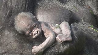Rare newborn baby gorilla at Twycross Zoo