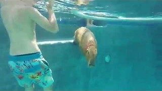 Capybara Spends Day Chilling at the Pool - Video