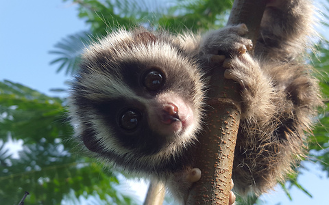 Baby Lorises Saved From Brutal Pet Trade: WILDEST ANIMAL RESCUES