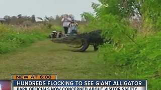 Hundreds flocking to see giant alligator - Video