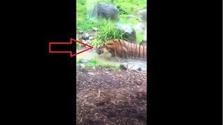Tiger stalks and hunts child at Dublin Zoo - Video