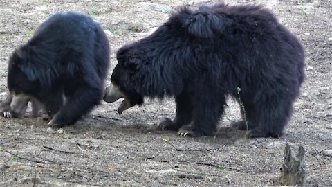 Rescued sloth bears have learned to play and love their new life