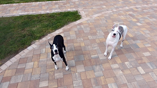 Drone captures bird's eye view of playful Great Danes