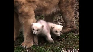 Newborn Polar Bear Cubs - Video