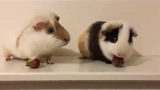 Guinea Pigs Nibble on Strawberries in Adorable Eating Competition - Video