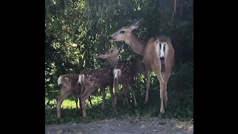 Baby deer triplets enjoy breakfast with their mama