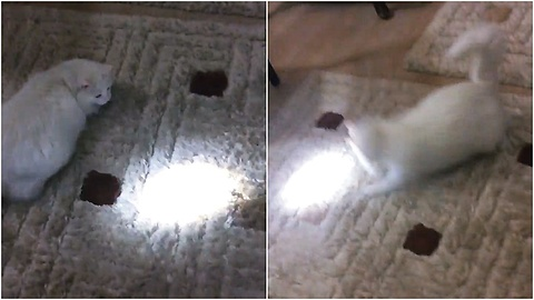 Crazy cat chasing flashlight beam