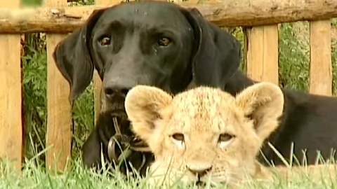 Dog Adopts Baby Lion