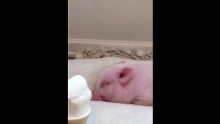 Mini Pig eats ice cream for the first time - Video