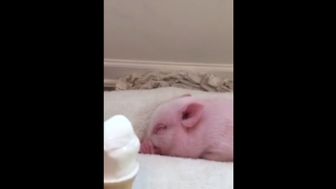 Mini Pig Eats Ice Cream For The First Time