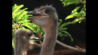 World's Biggest Ostrich Farm? - Video