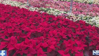 Annual Poinsettia Sale Benefits Denmark Lion's Club - Video
