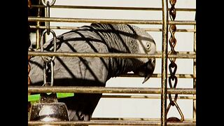 Parrot Custody Battle - Video