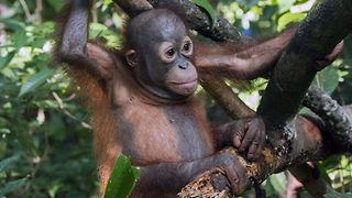 Shoulder-shot Orangutan graduates from pre-school - Video