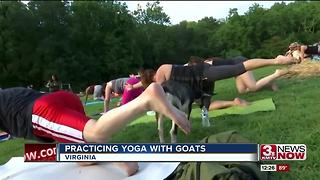 Goat yoga - Video