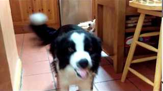 Happy Collie Just Can't Stop Smiling - Video