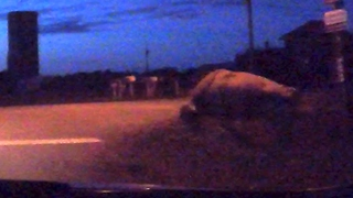Man and his grandmother encounter bull casually standing at roadside - Video