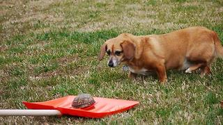 Dog extremely cautious of harmless turtle - Video