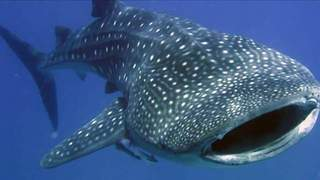 Diving with gigantic whale sharks in the Galapagos - Video