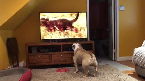 Bulldog calls for backup when hyenas appear on TV