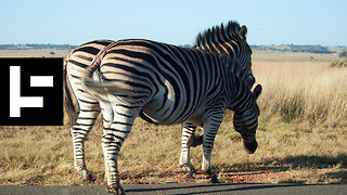 The Mysterious Zebras of California's Highway 1 - Video