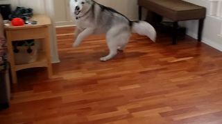 Extremely energetic husky plays with owner  - Video