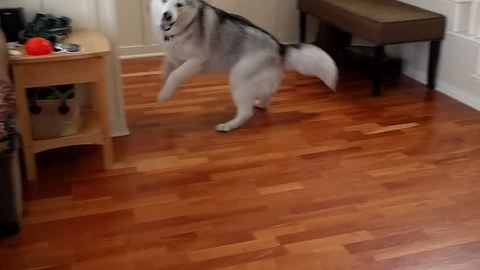 Extremely energetic husky plays with owner