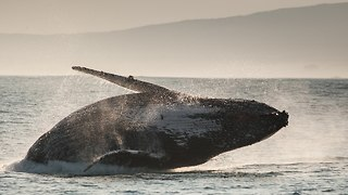 Spectacular Whale And Dolphin Migration Caught On Camera - Video