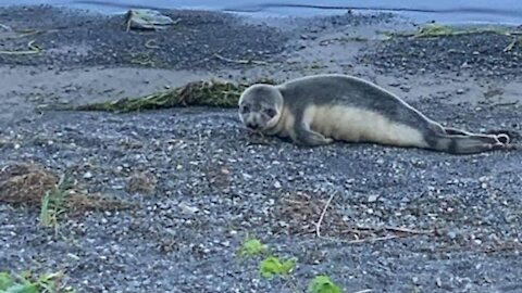 The Cute Little Seal Spotted Near Montreal Had To Be Euthanized