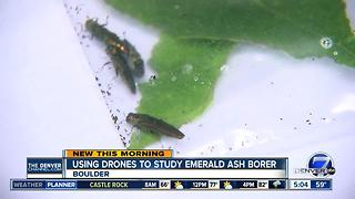 Researchers to use drones to study trees killed by the Emerald Ash Borer - Video